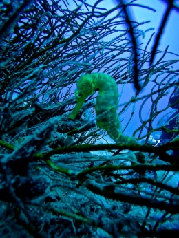 Tiger Tail Sea Horse