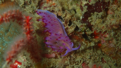 Fancy Nudibranch