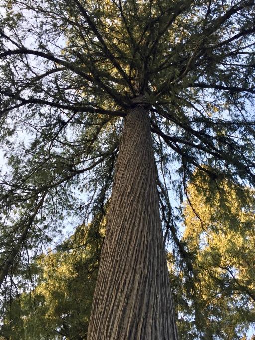 Ancient trees make great shade